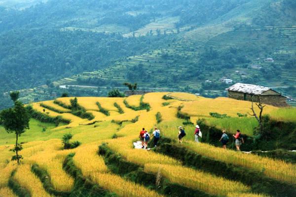 easy-treks-in-nepal-the-royal-trek-rice-fields