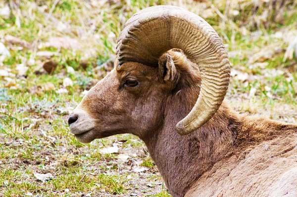 big-horn-sheep-Waterton-Canyon-Denver-Colorado-USA