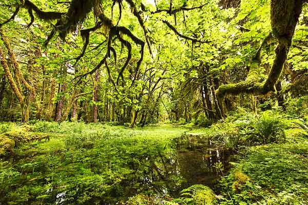 Quinault-Rain-Forest-Washington-Olympic-Park-USA