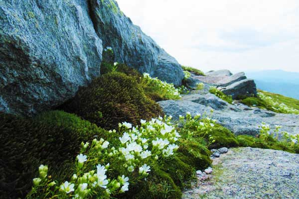 Camels-Hump-Hike-Flowers
