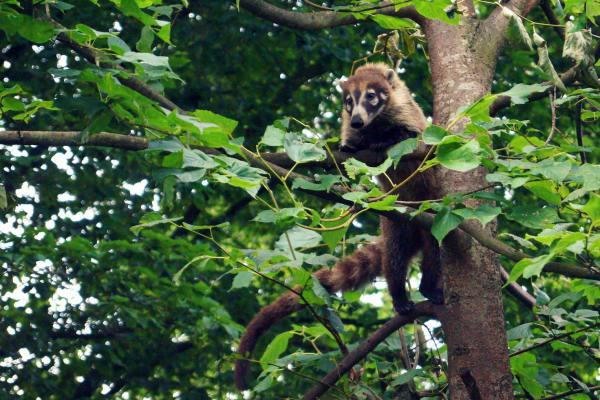 coati-mexico-forest
