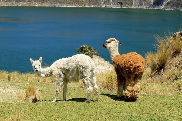 llama-animals-ecuador-quilotoa