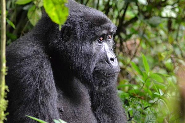 gorilla treks bwindi